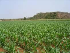 Controle biológico de pragas e de doenças no plantio direto do milho