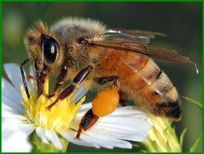 Descoberta abelha com maior língua entre os insetos