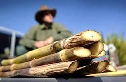 Governo incentiva produtores de cana com até um milhão em crédito