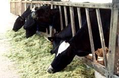 Manejo nutricional para gado de leite
