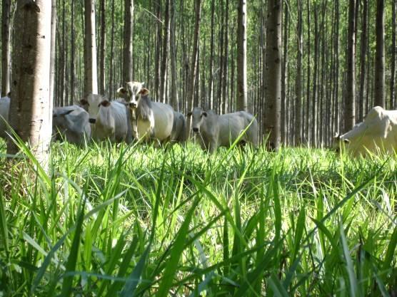 Integração lavoura pecuária floresta e sistema de plantio direto - tema de diversificação no meio rural