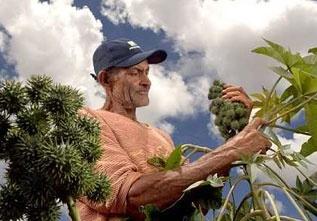 Biocombustível feito de óleo da palma é incentivo para a agricultura familiar no Brasil