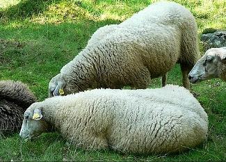 Saiba mais sobre a lã dos ovinos