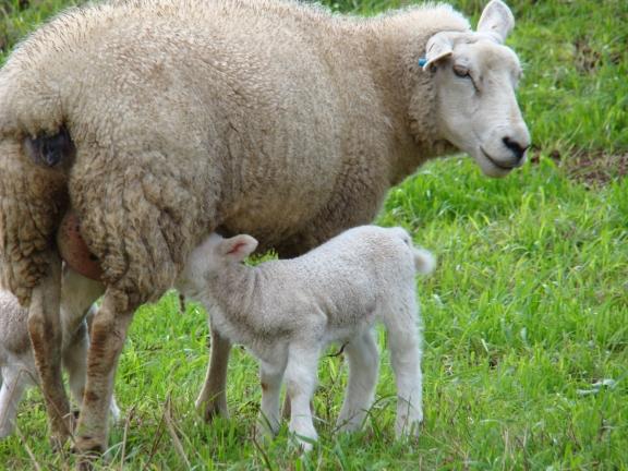 Leite de ovelha ganha espaço no mercado