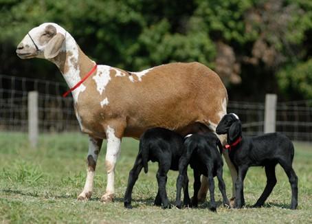 Sistemas de acasalamento em ovinos