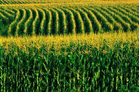 Novas variedades de milho no mercado