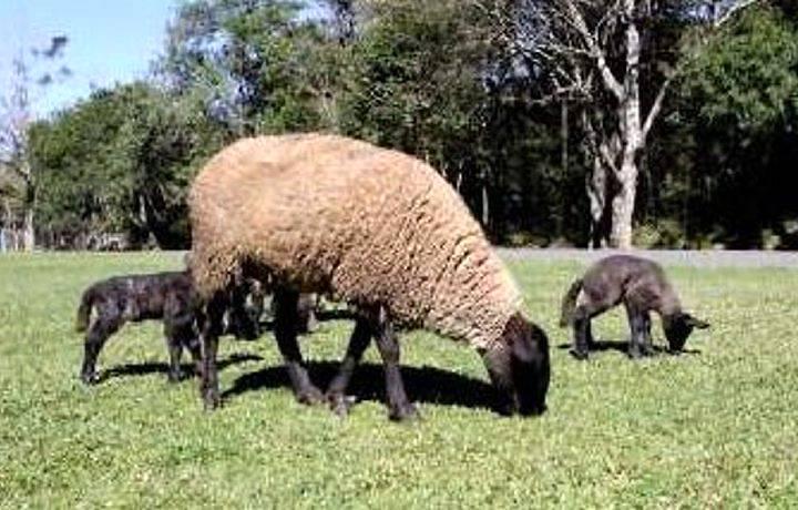 Avaliação dos animais na produção ovina