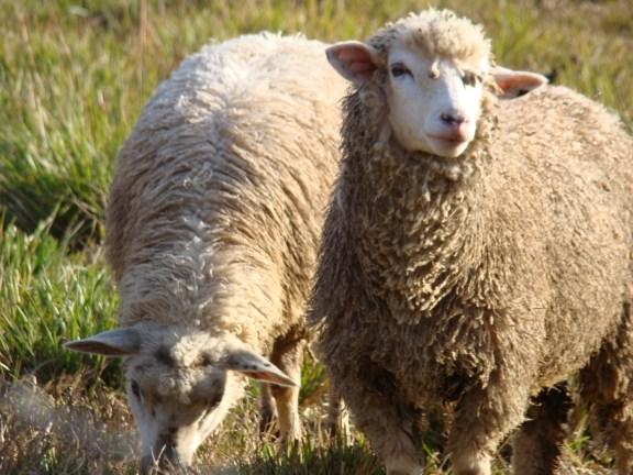 Cuidados durante a tosquia das ovelhas