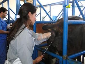 Inseminação artificial em bovinos biotecnologia de ponta.