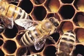 Como iniciar uma criação de abelhas