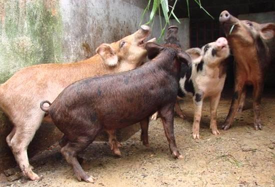 Criação orgânica de suínos