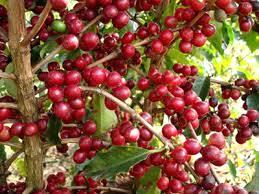 Doenças presentes na produção do café