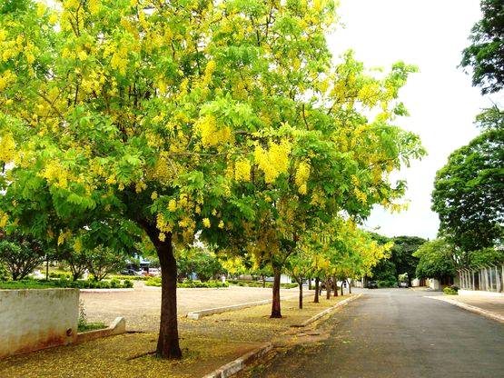Principais árvores indicadas para arborização urbana