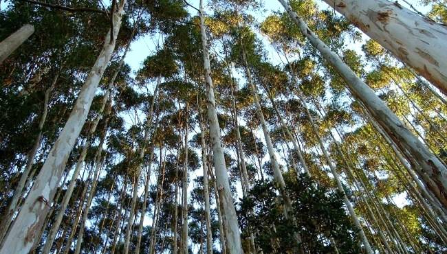 Principais plantas daninhas na cultura do Eucalipto