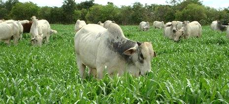 Capim Especial ajuda a impulsionar a Pecuária no Sul