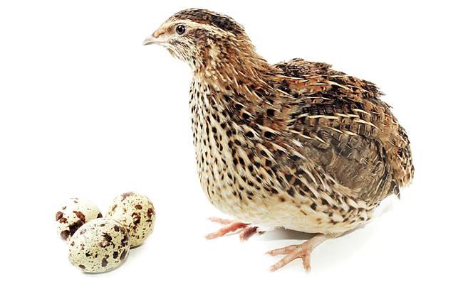 Para as codornas darem ovos o que é necessário?