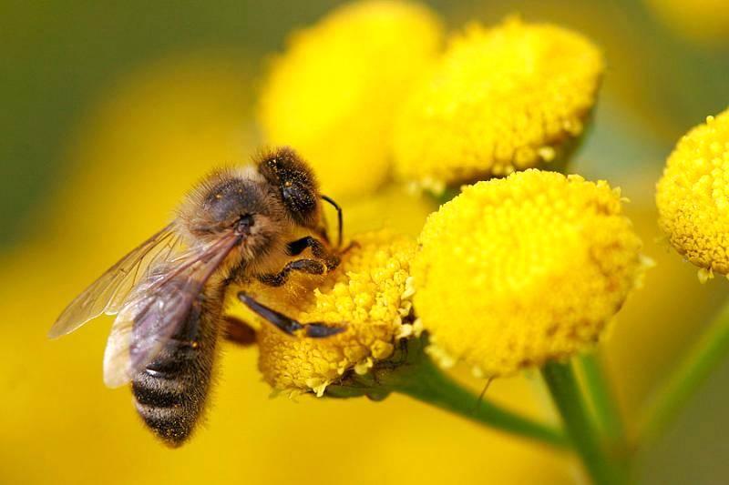 A importância das abelhas na polinização