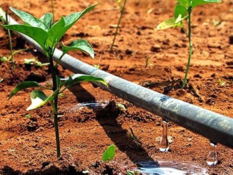 A irrigação por gotejamento