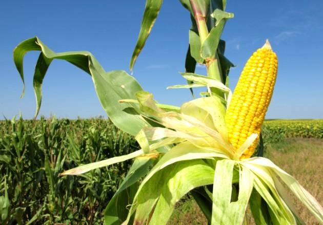 Preço do milho deve cair nos próximos meses
