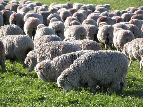 O mercado abre portas para lã de ovinos