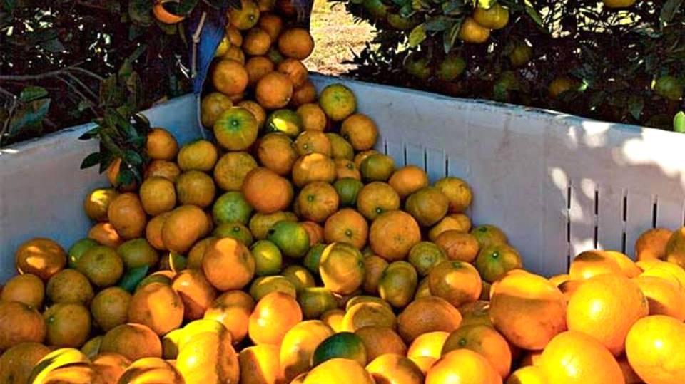 Safra de laranja sofre queda