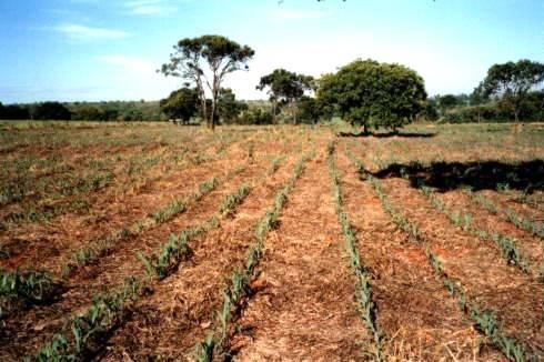 Culturas de Arroz, café e soja farão parte do novo Sistema de Classificação de Terras para Irrigação