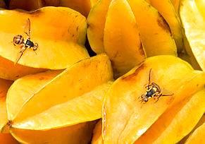 Mosca-da-Carambola é uma ameaça a fruticultura brasileira