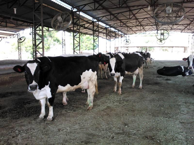 Rebanho leiteiro pode ser monitorado via aplicativo