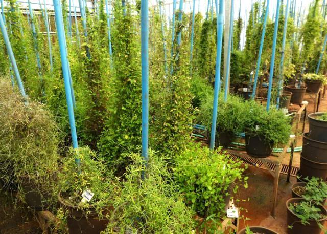 Soja selvagem da Austrália é pesquisada no Brasil com vistas ao melhoramento genético