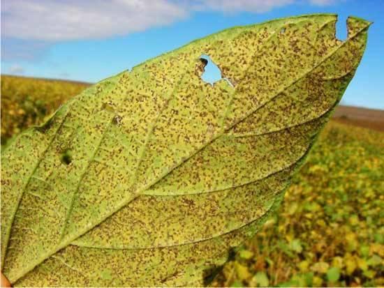 Ferrugem asiática é detectada em cultura de soja em SP