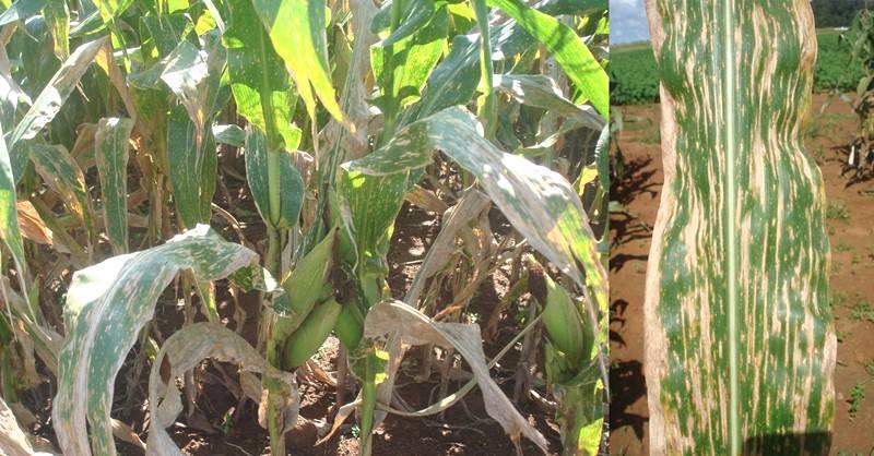 Conhecimento sobre manejo pode evitar doenças do milho