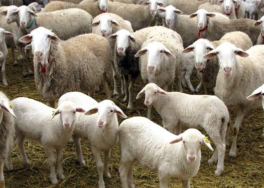 Mercado de cruzamento absorvente de ovinos de corte vem crescendo