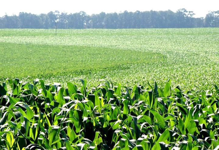 A densidade da semeadura do milho faz a diferença na colheita