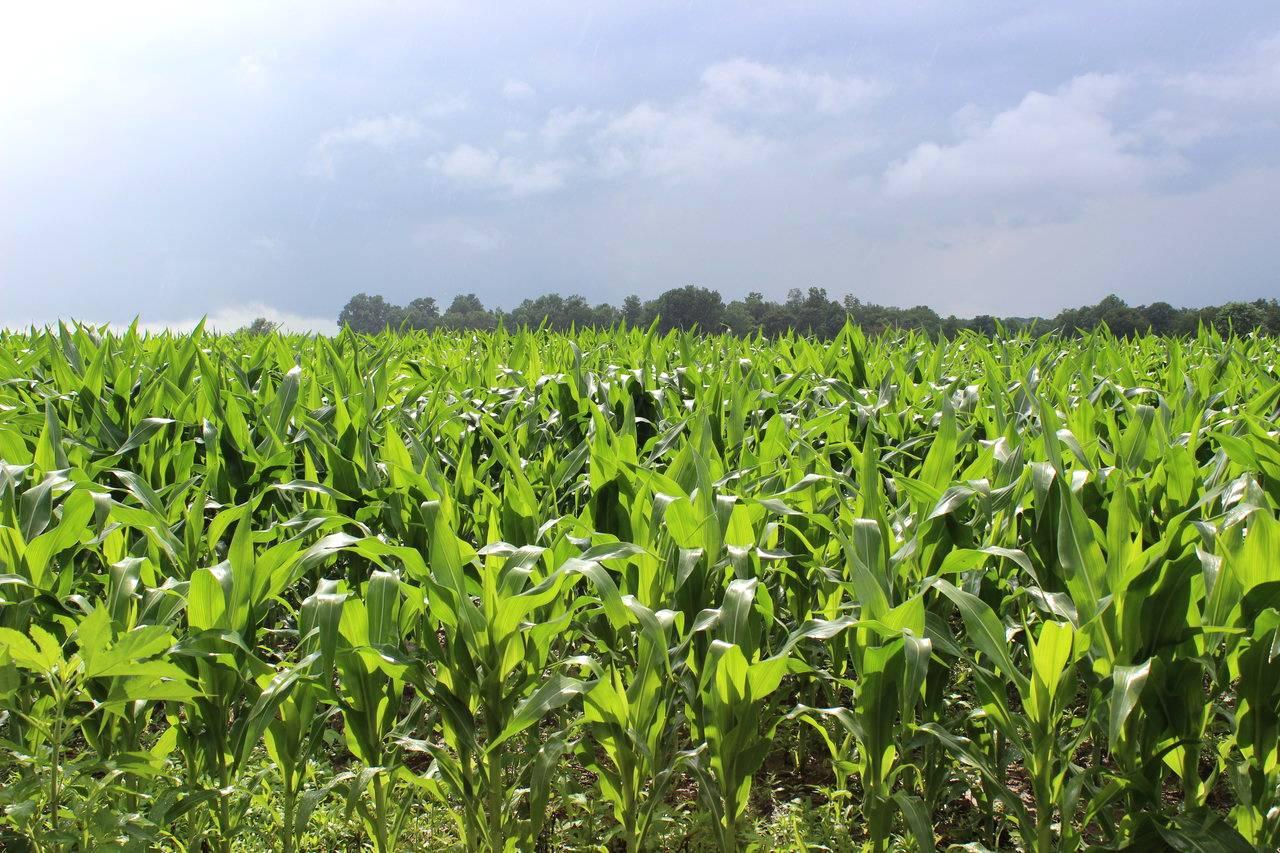 Clima colabora para a safra de milho no MT