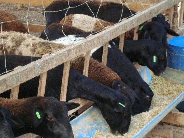 A suplementação de caprinos e ovinos