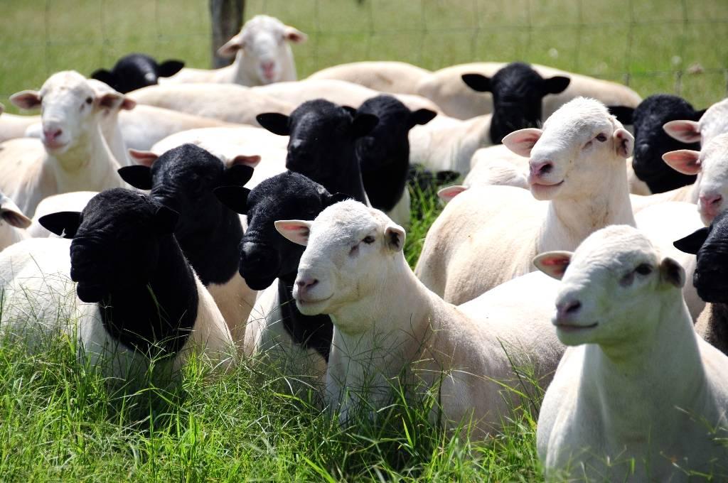 Investimento em ovinos requer planejamento para ações de manejo