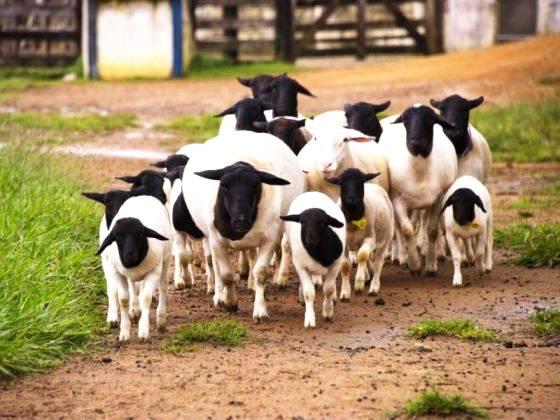 Produção de caprinos e ovinos está em expansão no Brasil