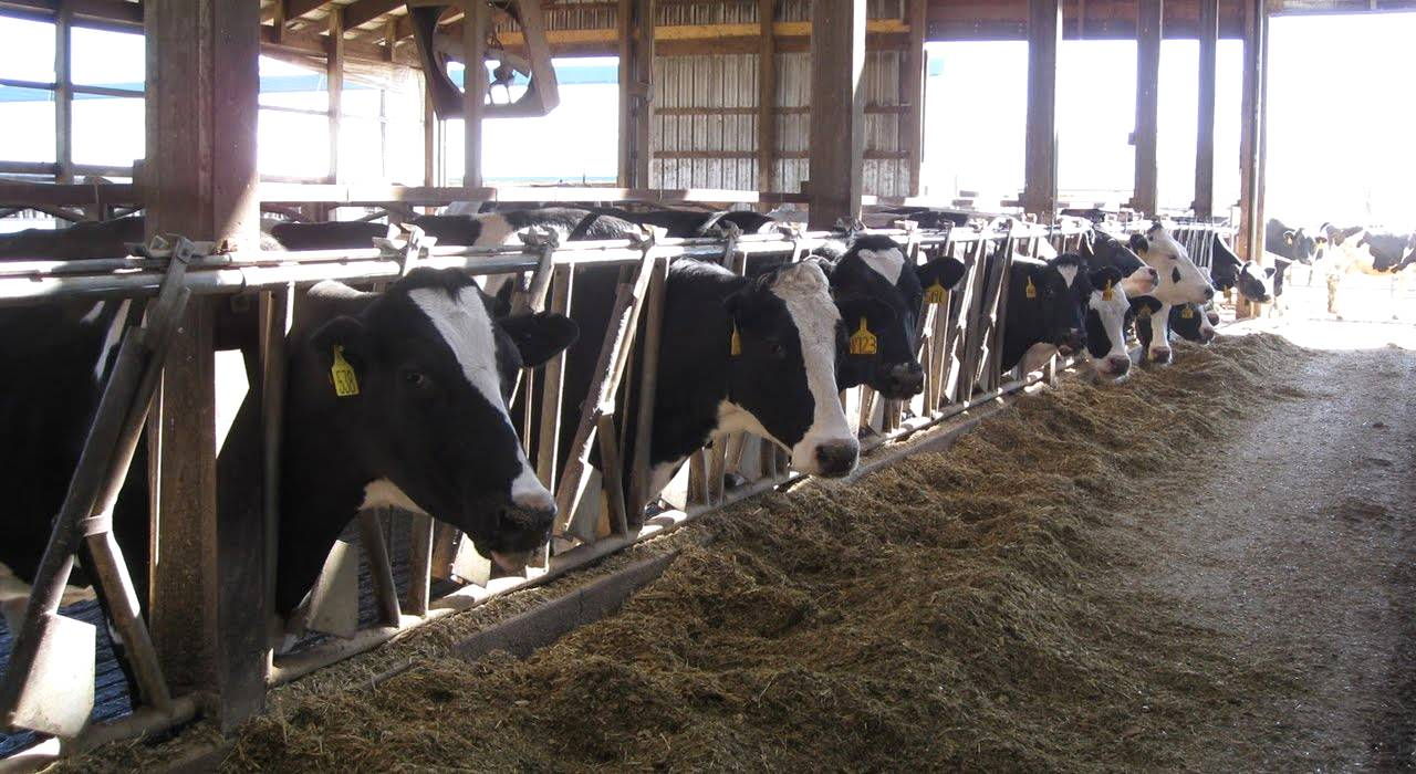 A importância do processamento da silagem do milho para gados leiteiros