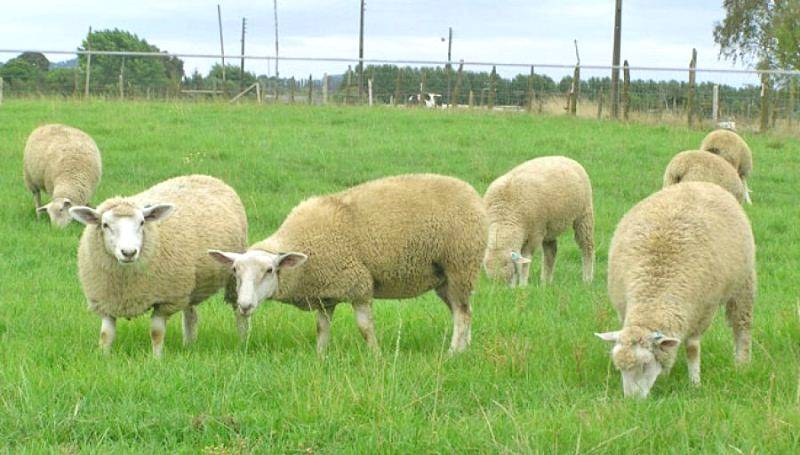 Aprenda a investir correto em uma ovinocultura