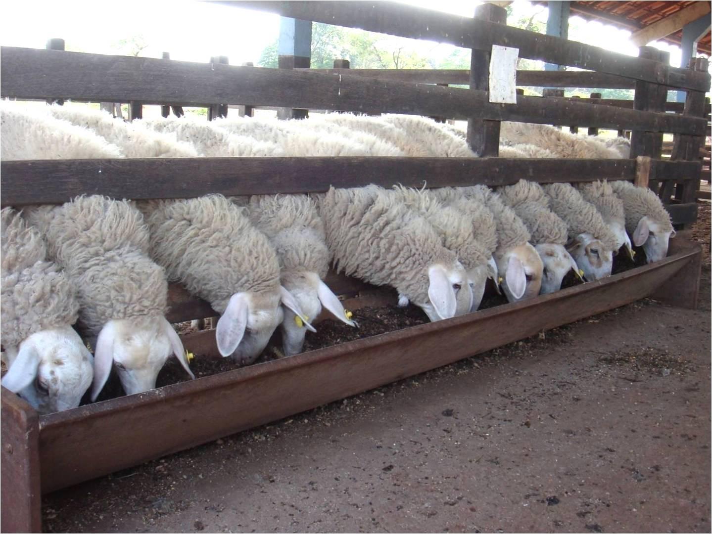 Criação de ovinos pode ser lucrativa