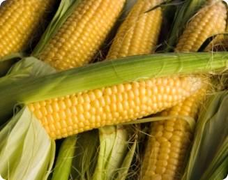 Doenças do milho podem inviabilizar até 70% das safras