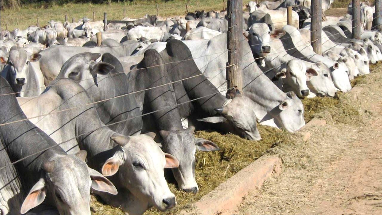 Gestão eficiente na produção de bovinos de corte