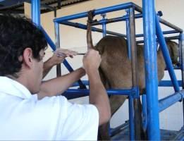 Inseminação artificial de ovinos e caprinos