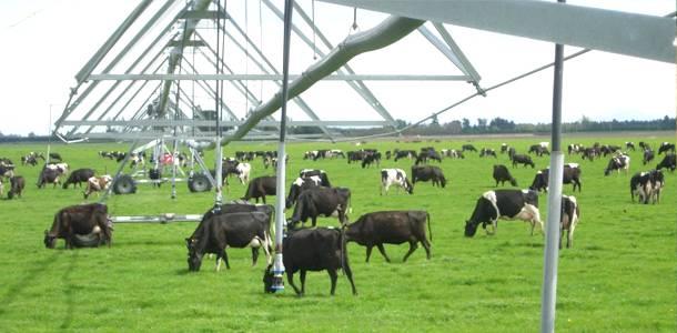 A importância da irrigação na produtividade do gado leiteiro