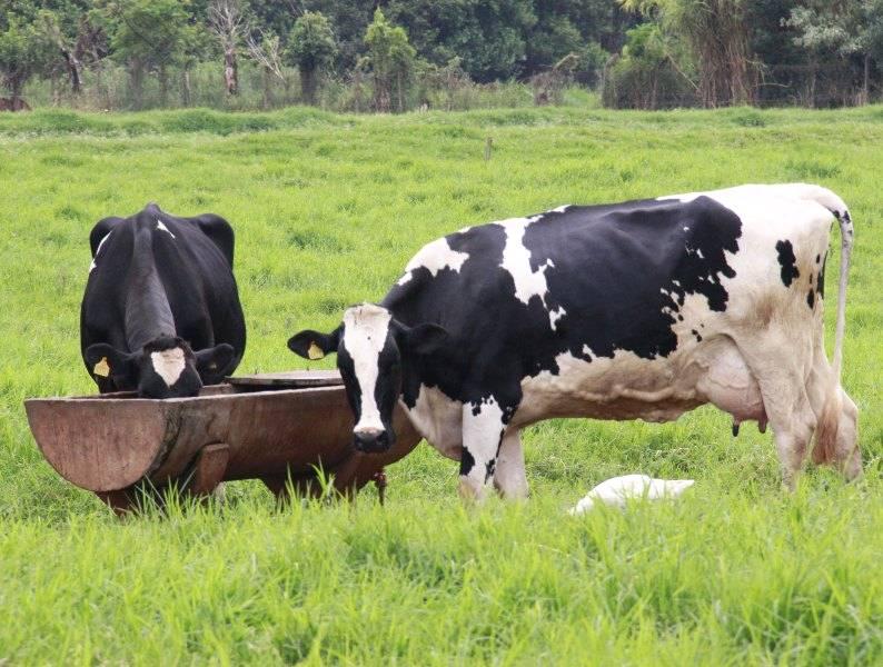 Os prejuízos causados pelo edema de úbere na produção de leite