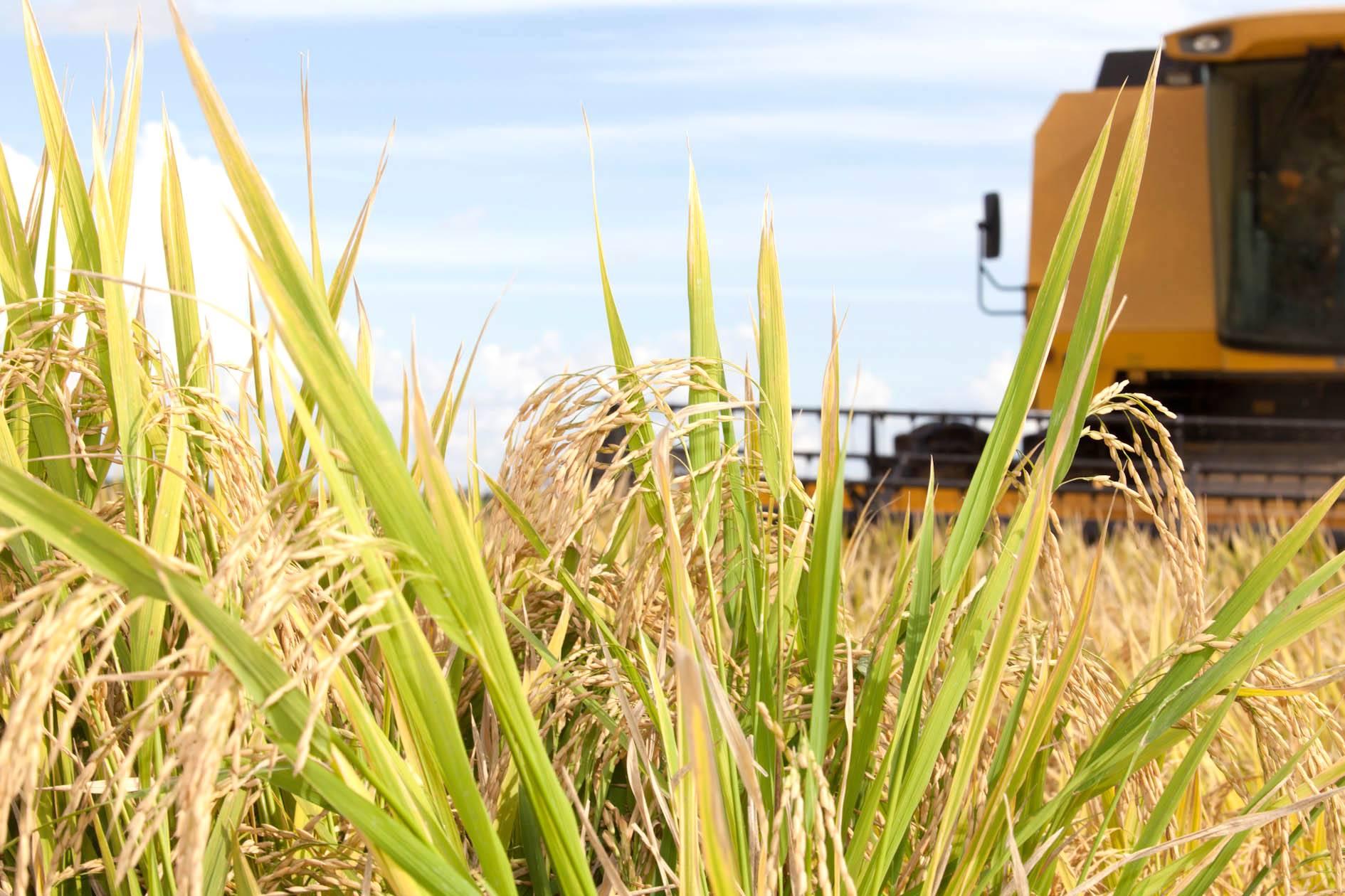 Técnica de irrigação sustentável aumenta produção de arroz