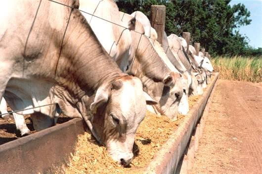 Qualidade da carne bovina pode ser aprimorada