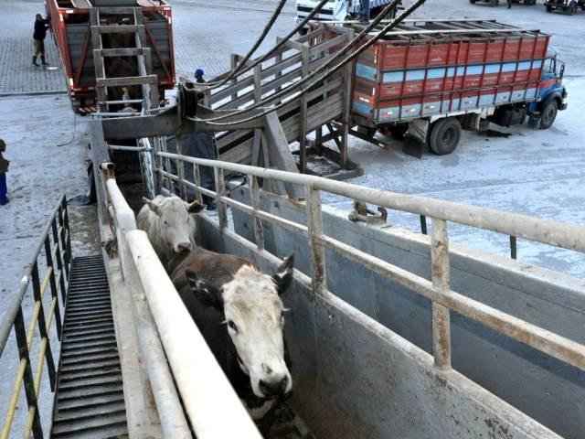 Boas práticas da criação bovina também estão no transporte marítimo