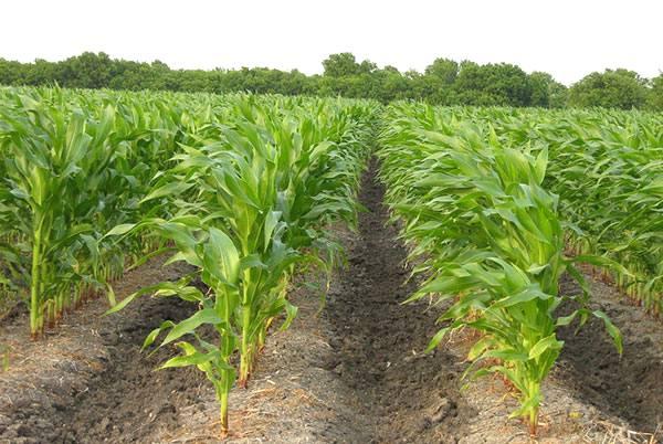 Como realizar um projeto de irrigação para a cultura do milho?