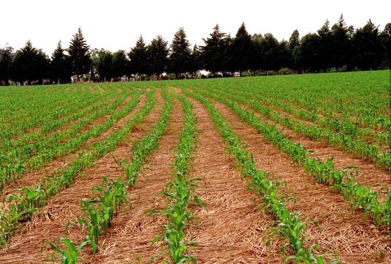 Conheça o Sistema de Plantio Direto de Milho, método sustentável e eficiente